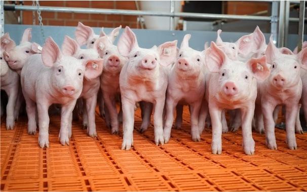 Żywienie świń bez tlenku cynku
