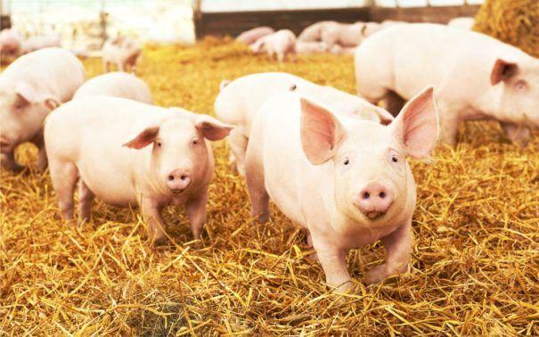 Zwalczanie streptokokozy u świń