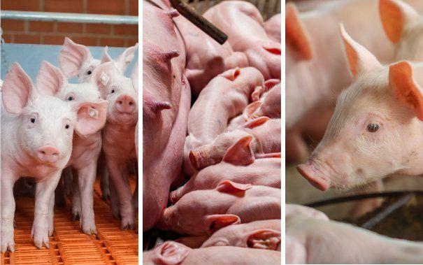 Beztlenowce u świń